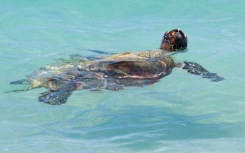 Go slow for those below—turtles are a common site around the Whitsundays. Photo: J Heitman.