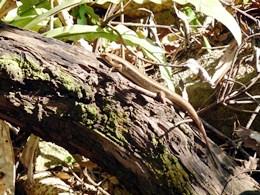 Major skinks are common along the Secret Garden track. Photo: Tamara Vallance, Queensland Government