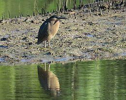 Herons are often seen stalking their prey in the mangroves. Photo: Ross Naumann, QPWS volunteer.