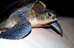 Green turtles occasionally nest on the beach at Sunken Reef Bay.