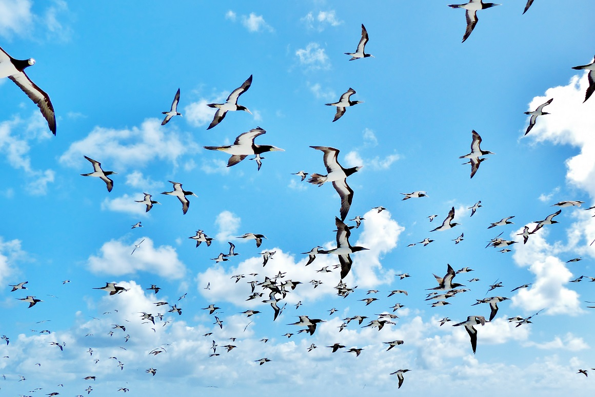 Black-edged wings, white underbellies and long pointed beaks of brown boobies soaring overhead contrast against a blue sky dotted with fluffy white clouds.