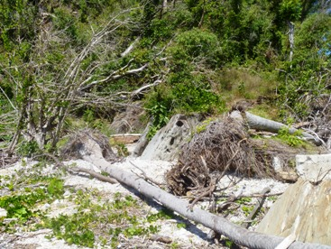 Damage to vegetation from Cyclone Yasi. Photo: William White, Queensland Government