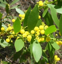Flatstem wattle Accacia complanata can often be seen flowering beside the forest road in summer and autumn. Photo: Ross Naumann, QPWS volunteer.