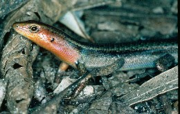 Look for rainbow skinks sunning themselves on rocks and logs. Photo: Adam Creed, DEH.