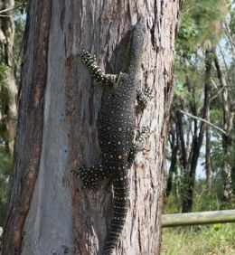 Lace monitors frequent the campgrounds. Photo: Sophia Levy, Queensland Government.