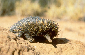 Echidnas (nyelga in the Ewamian language) break into termite nests, catching prey with their long sticky tongues. Photo © Queensland Government