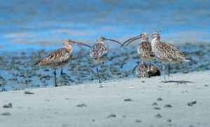 The islands are great for birdwatching - near threatened (rare) eastern curlews have been seen. Photo: Queensland Government.