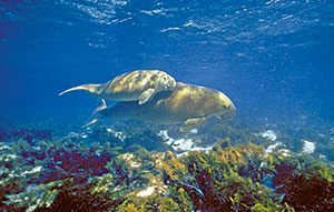 Dugong and calf. © Queensland Government.