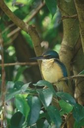 Sacred kingfisher. Photo: Bruce Cowell, Queensland Museum.
