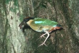 A noisy pitta.