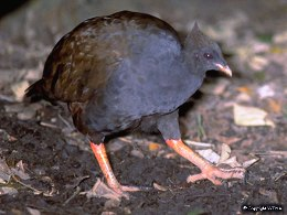 The orange-footed scrubfowl is frequently seen in Mount Whitfield Conservation Park.