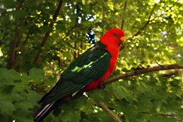 King parrot. Photo: Greg Watson.