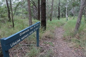 Stroll through open forest along this Thilba Thalba section of the Sunshine Coast Hinterland Great Walk track. Photo: Ross Naumann, QPWS volunteer.