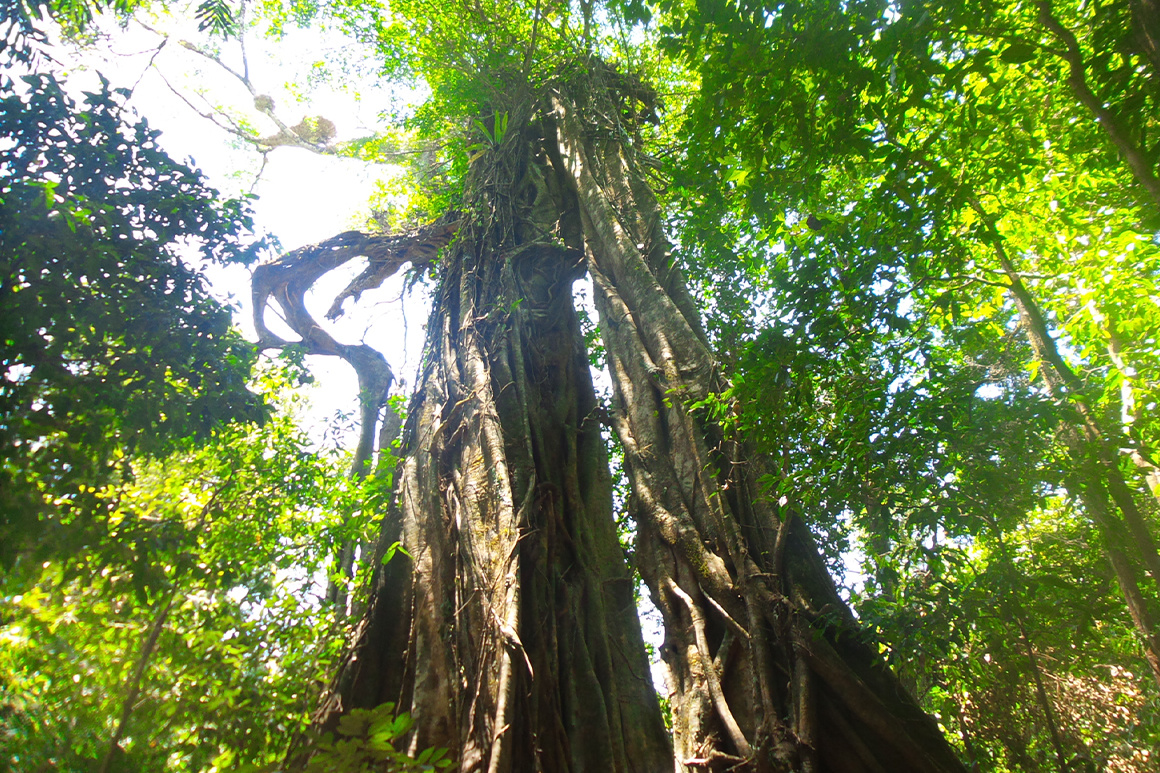 A tall strangler fig reaches towards the sky surrounded by green foliage of the rainforest.