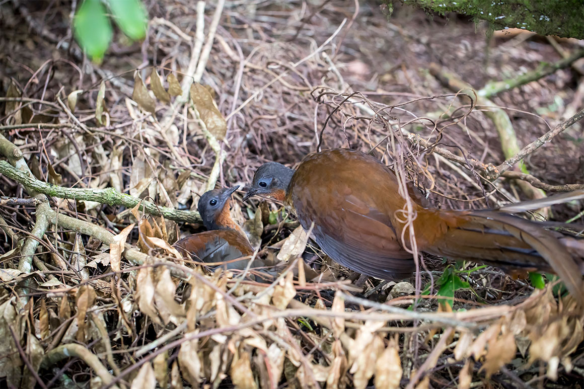 Female bird with grey head and brown plumage with long feathery tail feeds chick of same colouring in a nest of leaves and straw on the ground.