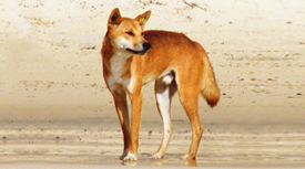 Fraser Island dingoes have a higher average mass than mainland dingoes.