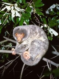 Spotlight for the shy common spotted cuscus (Ampuyu).