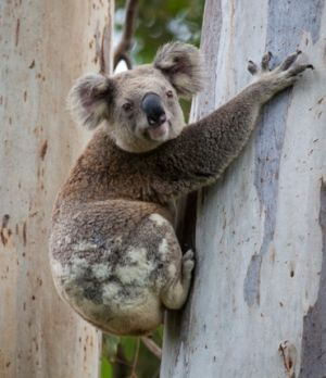 To help protect native wildlife, such as the genetically distinct population of koalas, domestic animals are not permitted in the national park. Photo: Queensland Government.