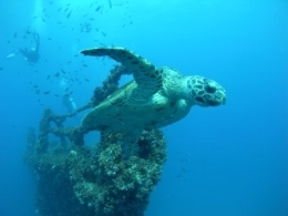 Majestic green turtles benefit from the wreck.