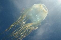 Dangerous stinging box jellyfish. Photo: Jamie Seymour.
