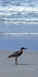 Image of Beach stone-curlew on a beach.