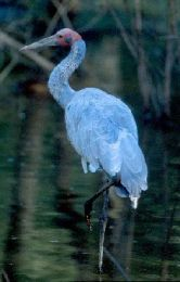 A brolga standing in a lagoon