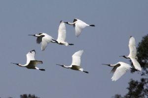 Royal spoonbills in flight.