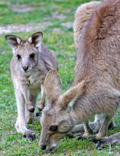 Grey kangaroos. Photo Bill Goebel.