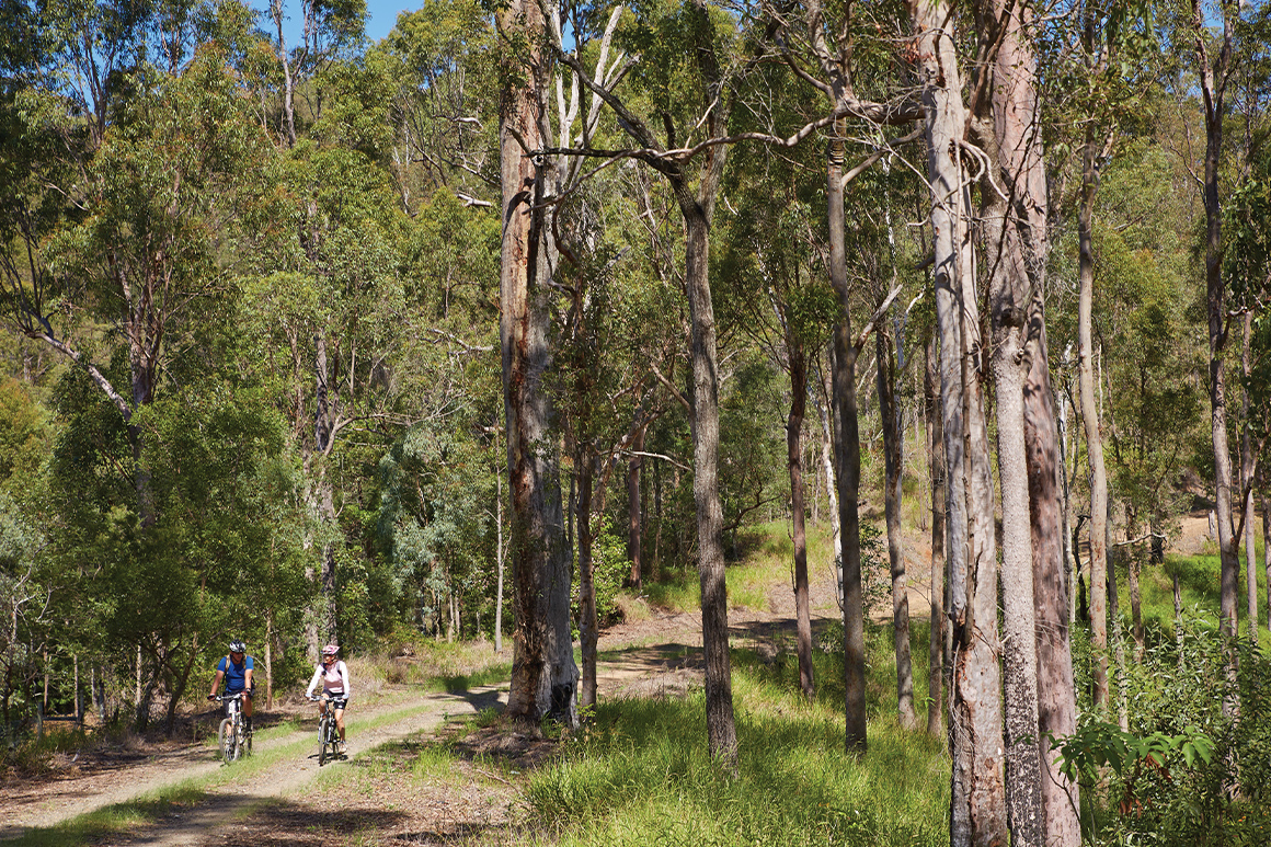 Two mountain bikers riding along a forest trail surrounded by tall eucalypts.