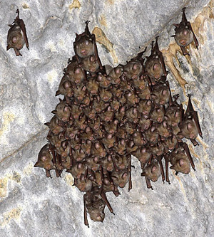 Image of  bats that can be seen in the caves.