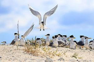 Crested terns have yellow bills. Photo: Andrew McDougall, © Queensland Government.