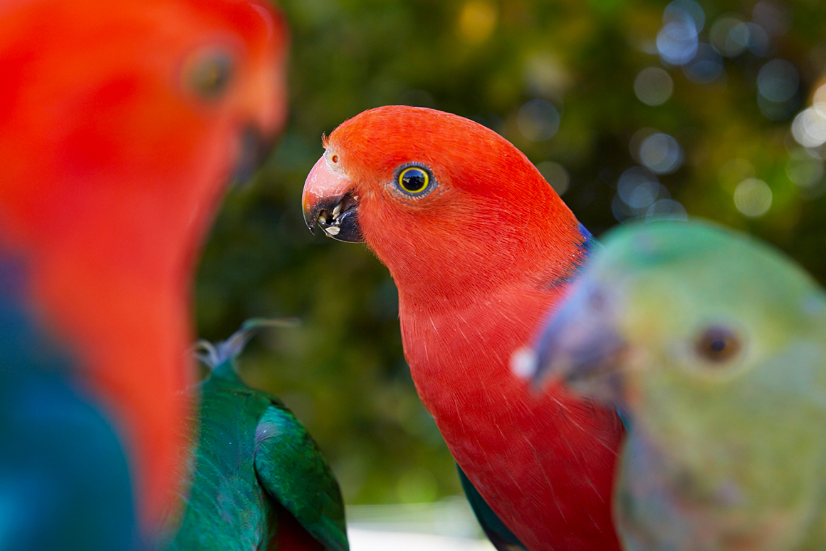 Close up of the bright red head and blue-green shoulders of a king-parrot.